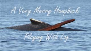 A Very Merry Humpback Playing With Log