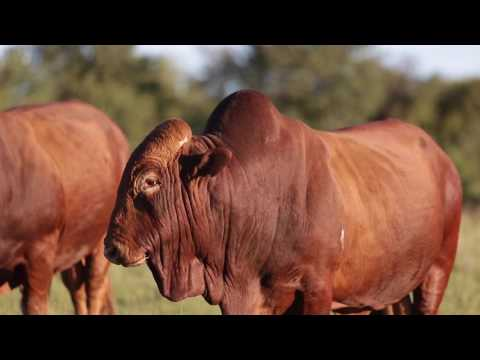 Afrikaner Cattle Beef