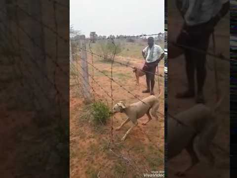 Indian mudhol breed dog jumping 7 feet fence.. amazing