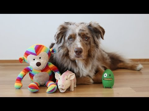 Dog's Toys on the Run | Pekka the Australian Shepherd