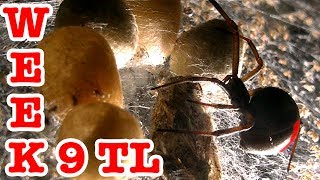 Redback spider 1000 scary psycho spiderling killers week 9 time lapse