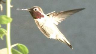 Slow Motion Hummingbirds 1 HD 720p