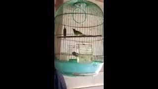 Kolibri kelapa / korlap / manggar gacor