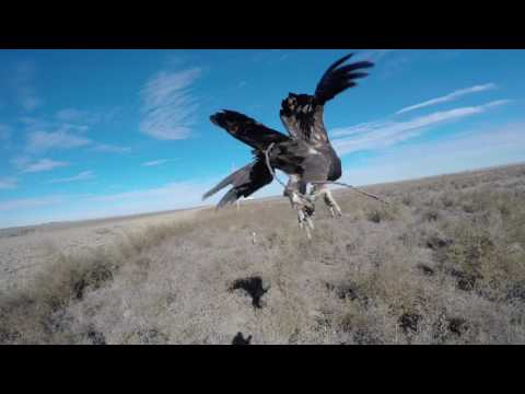 Hunting Hares with a Golden Eagle in Kansas