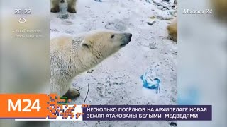 видео: Несколько поселков на архипелаге Новая Земля атакованы белыми медведями - Москва 24
