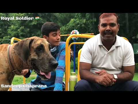 Great Dane Dog Behaviour feedback by Owner. Great Dane is a Kids friendly Dog.German Mastiff. Hindi