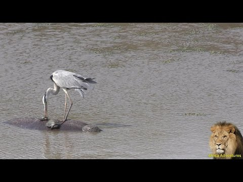 Grey Heron Try To Eat Turtles. Must Watch Till End.
