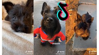 Cutest Scottish Terrier  Funny and Cute Scottish Terrier Puppies and Dogs Videos