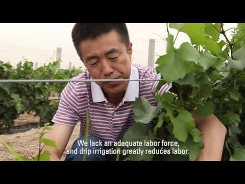 Drip Irrigation for Wine Grapes and Corn in China: Netafim Customer Testimonial