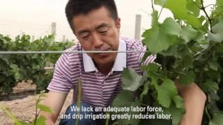 Drip Irrigation for Wine Grapes and Corn in China: Netafim Customer Testimonial