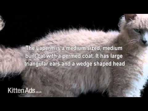 Kittenads breed guide to Laperm Cat