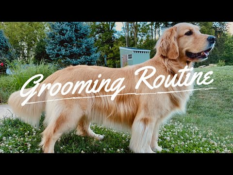 Service Dog Grooming Routine // Golden Retriever