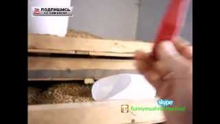 Вешенка мицелий, как правильно готовить зерно для мицелия грибов