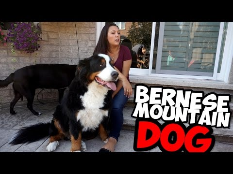 BERNESE MOUNTAIN DOG AND A LAB PUPPY!
