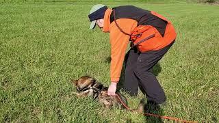 Swedish Vallhund Fantasi Little Bo Peep 101/2 years old - Return to Tracking