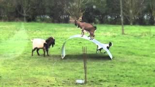 Balancující kozy
