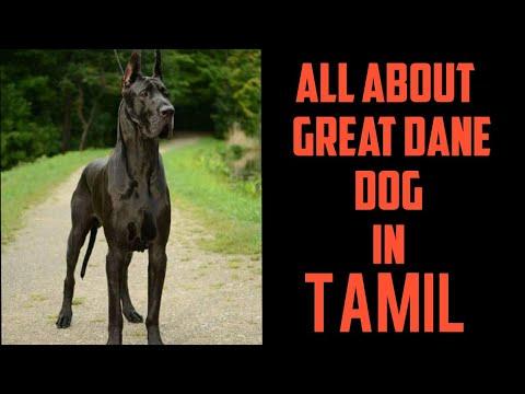 Great Dane dog tamil info