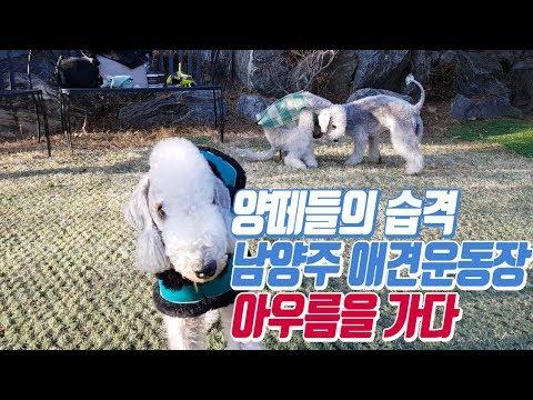 소형견인듯 중형견인듯 양떼들 습격/pet dog Bedlington Terrier
