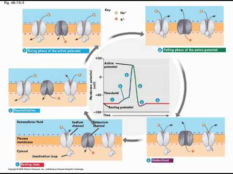 Neurons and action potentials