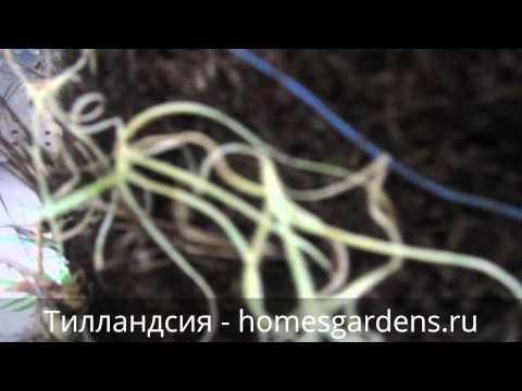 Исландский мох — лечебные свойства, применение и рецепты
