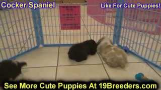 Cocker Spaniel, Puppies, For, Sale, In, Weirton, West Virginia, Wv, Kanawha, Monongalia, Cabell, Woo