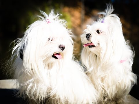 "1 Year Old Maltese Sisters ""Lacy and Lily"" Before/After Video 