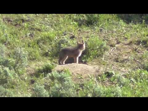 Coyote Cubs appear from den Lamar valley Yellowstone June 2016