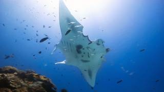 This manta ray was circling a cleaning station. the has at least four bite marks on its back end, and it lost his tail - injuries most likely cause...