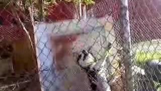Siberian Husky Escaping