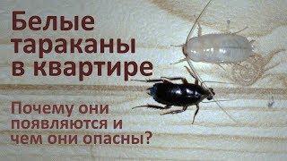 Чем опасны белые тараканы в квартире
