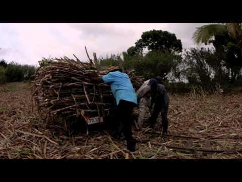 Fiji Sugar Cane 2011 Yako, Nadi