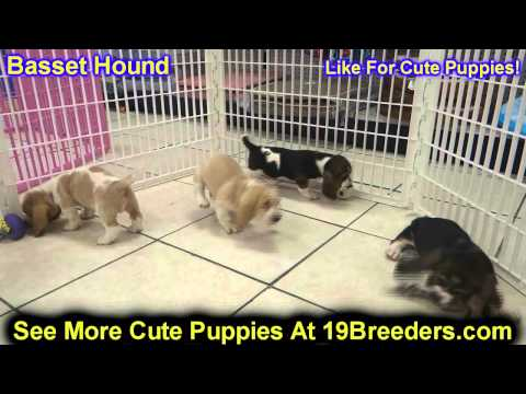 Basset Hound, Puppies, Dogs, For Sale, In Jersey City, New Jersey, NJ, 19Breeders, Elizabeth