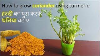 How to regrow coriander using turmeric, Dhaniya ugaye