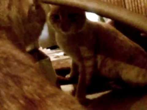 Кот в шоке от отражения mp4