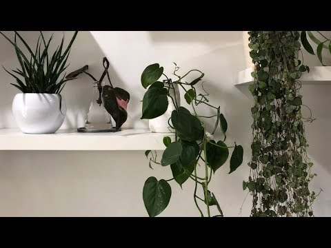 PROPAGATING HANGING PLANTS IN WATER