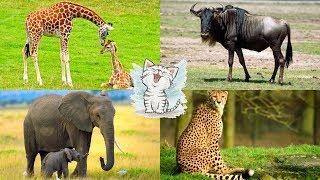 Изучаем звуки животных Африки для детей