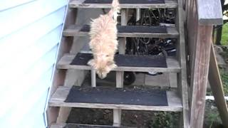Cairn Terrier Learning Stairs Col. Potter Cairn Rescue Network