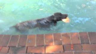 German Shorthaired Pointer Swimming
