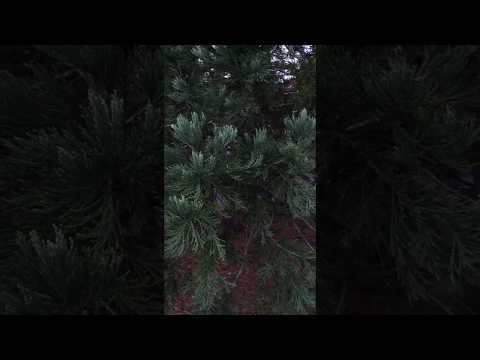Giant redwood (Sequoiadendron giganteum) - leaves - December 2017