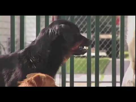 Pitbull vs Rottweiler fight Must See Raw Fight