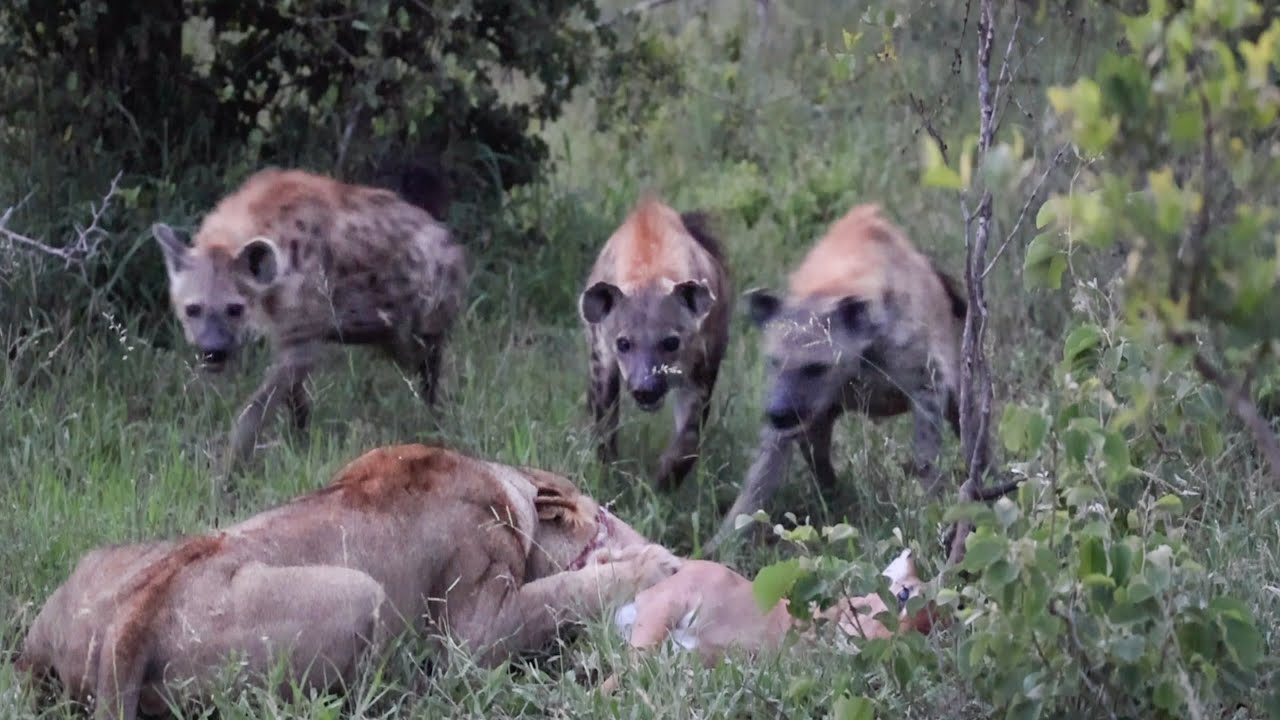 Download WILD DOG Hunt Leads to LION and HYENA Interaction