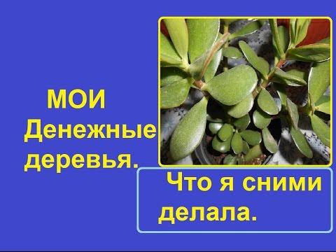 Красула,  Толстянка , Денежное дерево.