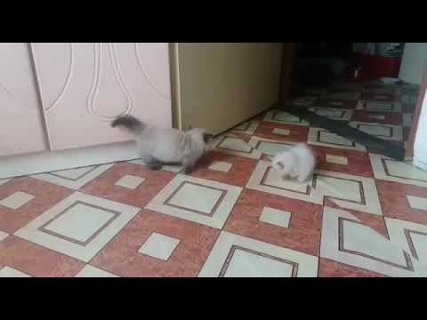 Munchkin kitten : Funny fight. Play full