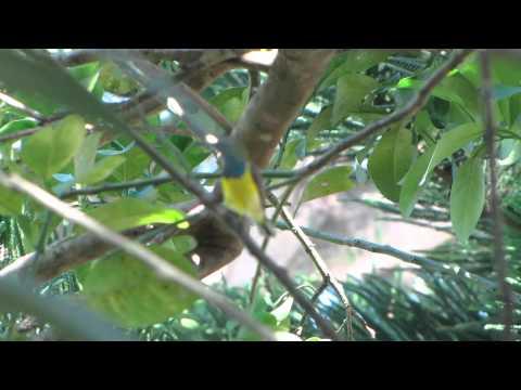 Olive-backed Sunbird ( Tamsi )