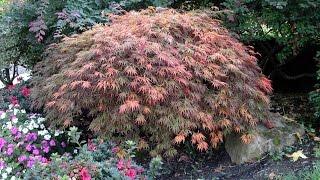 Acer palmatum dissectum -  Laceleaf Maple