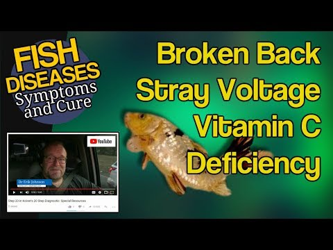 Koi And Big Fish Broken Back, Scoliosis, Vitamin C Deficiency And Stray Voltage