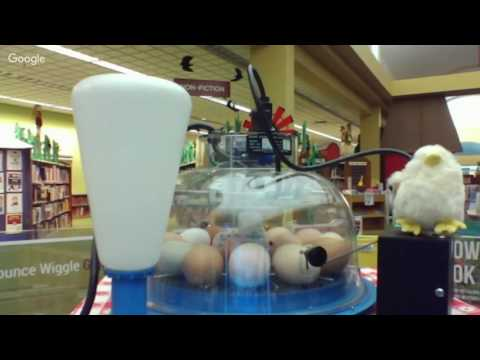 ALPL Live Stream Chick Hatching