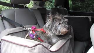Franny The Cairn Terrier