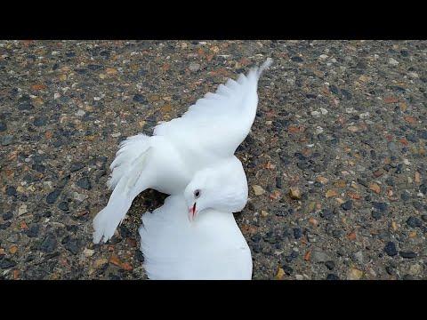 голубь разбился