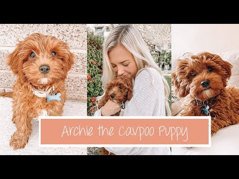 A day in the life of having a Puppy | Archie the Cavapoo Puppy